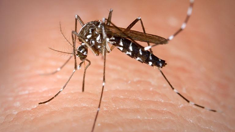 (Aedes albopictus)