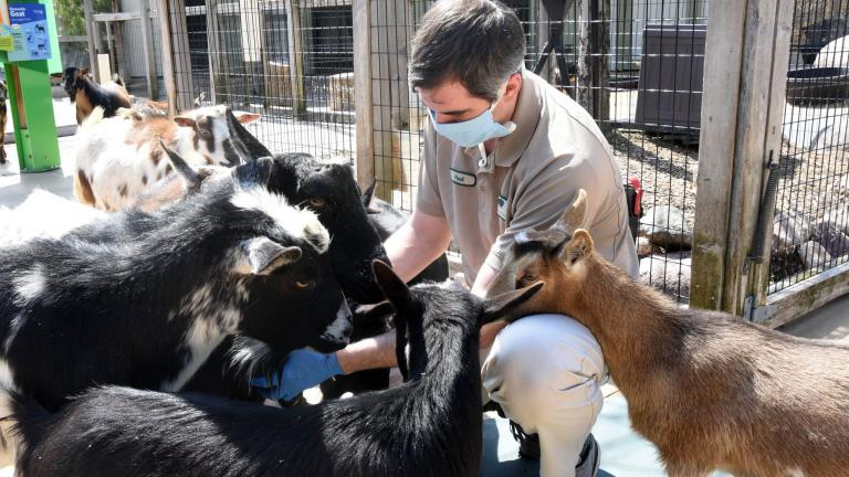 Paul Eberhart, a lead animal care specialist at Brookfield Zoo, spends some time with the Nigerian dwarf goats. (Jim Schulz / Chicago Zoological Society