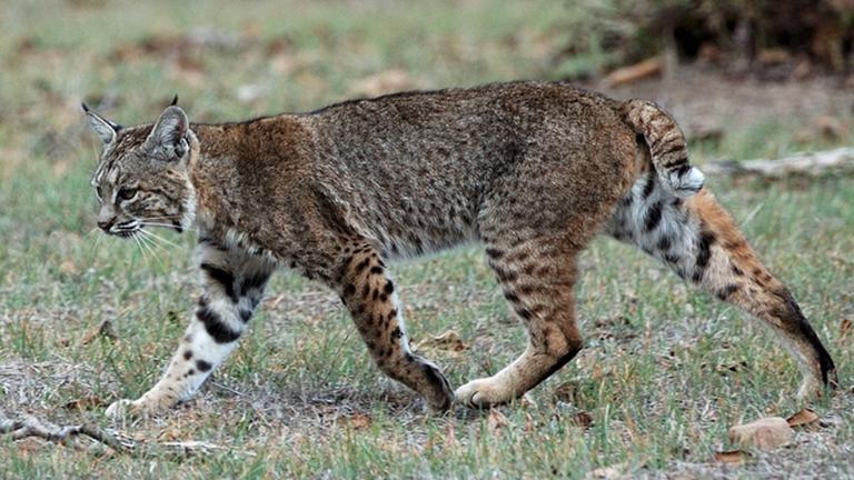 While bobcats are seldom seen by humans due to the species' elusive nature, wildlife experts say their numbers have increased in Illinois. (Don DeBold / Wikimedia Commons)