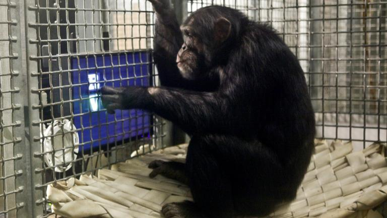 Chimpanzee. Courtesy of the Lincoln Park Zoo.