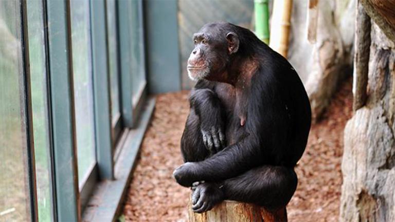 (Courtesy Lincoln Park Zoo)