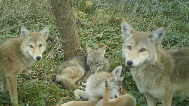 A group of coyotes captured by a motion-detected camera in Chicago. (Courtesy of Lincoln Park Zoo)