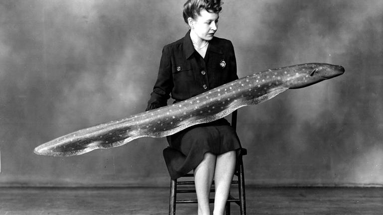 Mrs. Helen Moyer holding a large model of an eel in 1947. (Photo courtesy the Field Museum)