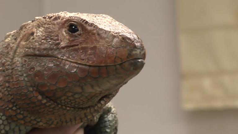 Hiss Majesty, a 16-year-old Caiman lizard at the Shedd Aquarium, was fitted for a new prosthetic limb on Wednesday.