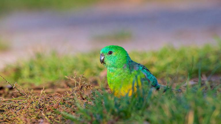 A red-rumped parrot, one of the bird species that has seen its bill size increase. (Credit: Ryan Barnaby)