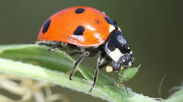 A ladybug eats an aphid, a common garden pest. (John Flannery / Flickr)