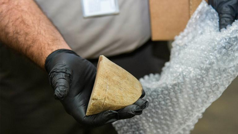 The Brookfield Zoo donated this piece of black rhino horn to the U.S. Fish and Wildlife Service for its dog training program to catch wildlife contraband. (Kelly Tone / Chicago Zoological Society)