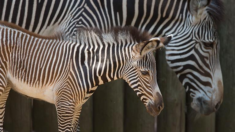 The Lincoln Park Zoo welcomed the birth of a female Grevy's zebra on Saturday. (Todd Rosenberg / Lincoln Park Zoo)