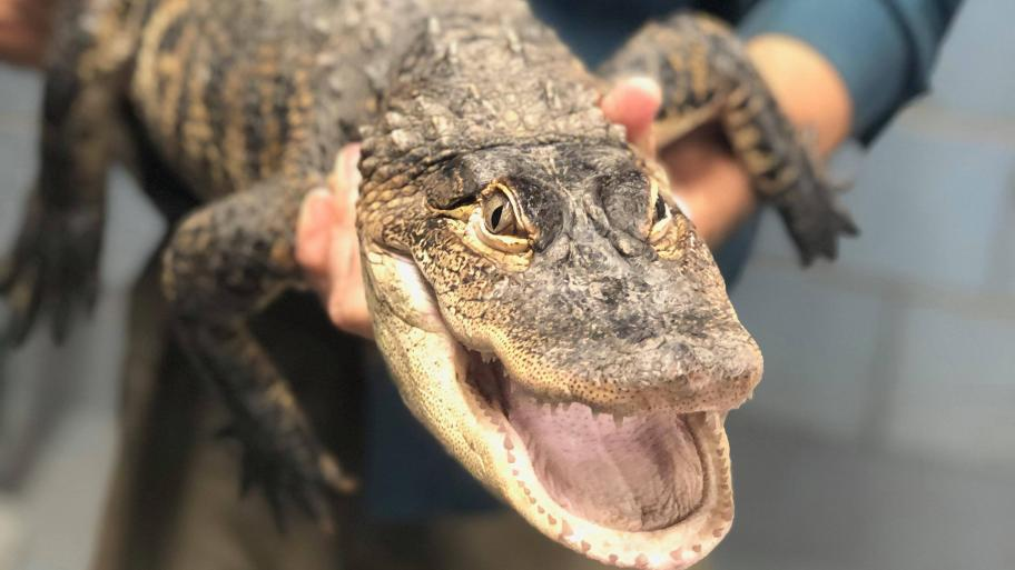 The Humboldt Park alligator was caught early Tuesday, July 16, 2019. (Courtesy of Chicago Animal Care & Control.)