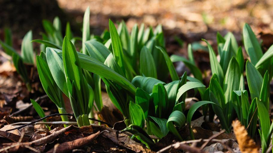 """Legend has it that ramps, growing wild in forests, are the """"stinky onion"""" that gave Chicago its name. (Moira Gibson / Pixabay)"""