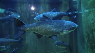 December 20, 2012 - Shedd Adds Asian Carp to Invasives