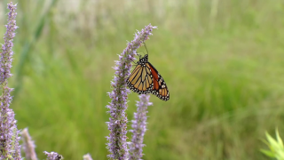 Urban Nature: 'Can Cities Save the Monarch?'