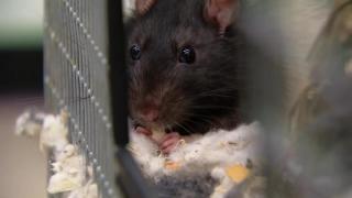 July 31, 2013- Rats!