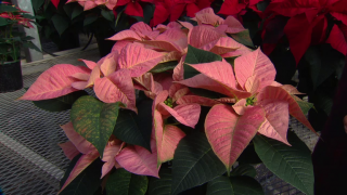 Holiday Cheer Takes Root at Poinsettia Farm in Woodstock