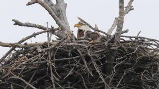 Web Extra: The Bald Eaglet of Busse Woods