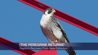 New Book Tracks Peregrine Falcon's Return From Near-Extincti