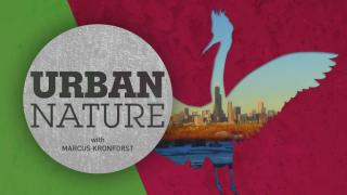 Urban Nature: 'A Coyote Comeback'