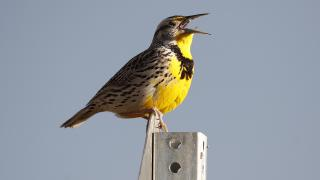 This April 14, 2019 file photo shows a western meadowlark in the Rocky Mountain Arsenal National Wildlife Refuge in Commerce City, Colorado. (AP Photo / David Zalubowski, File)