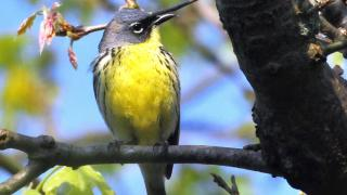 The tiny yellow-breasted Kirtland's warbler was only recently de-listed as an endangered species. (Joel Trick / U.S. Fish and Wildlife Service)
