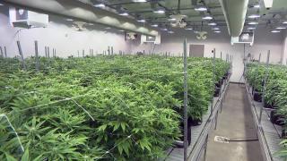 A cannabis cultivation facility. (WTTW News)