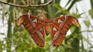 An Atlas moth dispels the myth that moths are drab. (Bar Bus / Pixabay)