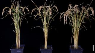 A photograph of rice plants in a study performed by a team from the University of Chicago. Researchers found that by adding a gene that encodes for a protein called FTO both rice and potato plants increased yields by 50%. (Courtesy of University of Chicago / Yu et. al.)