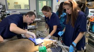 Sabiena, one of Brookfield Zoo's two newly adopted California sea lions, is examined by members of the zoo's medical team on Tuesday, Sept. 24, 2019. (Jay Shefsky / WTTW News)