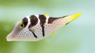 """The saddled puffer is one of 100 species that can be seen in """"Underwater Beauty."""" (Courtesy of Shedd Aquarium)"""