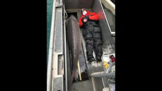 A massive sturgeon, caught May 2021 in the Detroit River. (Jason Fischer / U.S. Fish and Wildlife Service)