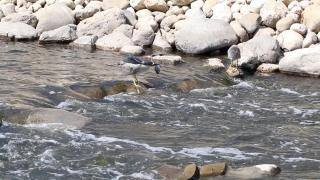 A black-crowned night heron snags a fish on River Park's new riverbed habitat, where Chicago's last waterfall once flowed. (Evan Garcia / WTTW News)