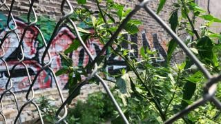 Chicago's Office of Inspector General continues to monitor the city's weed-clearing practices for vacant lots. (Patty Wetli / WTTW News)