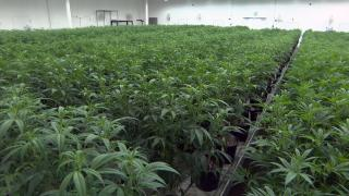 Illinois selected another 55 winners from a pool of 589 qualifying applicants seeking to open cannabis dispensaries. (WTTW News)
