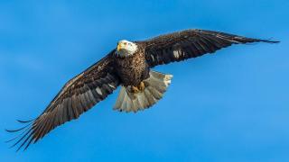 Bald Eagles Spotted Near O'Hare Signal a Comeback