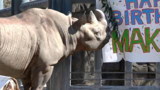 Web Extra: Maku Celebrates 30th Birthday at Lincoln Park Zoo