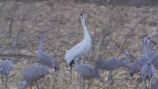 Sandhill, Whooping Cranes Spotted Outside Chicago