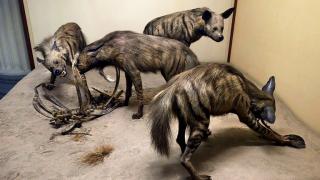 Field Museum to Unveil Hyena Diorama