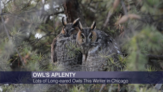 Long-Eared Owls 'Invade' Chicago