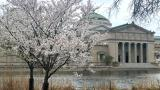 Visitors have been flocking to Jackson Park to catch the cherry trees in bloom. (Courtesy of Chicago Park District)