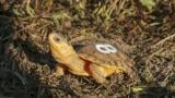 Shirlee, a Blanding's turtle, as a new hatchling in 2017 (Courtesy Forest Preserve District of DuPage County)