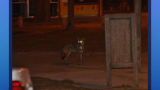 Chicago's Urban Coyotes