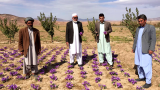 World's Most Expensive Spice Puts Afghan Farmers, Chicagoans to Work