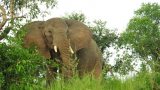 African Elephants in Danger of Extinction