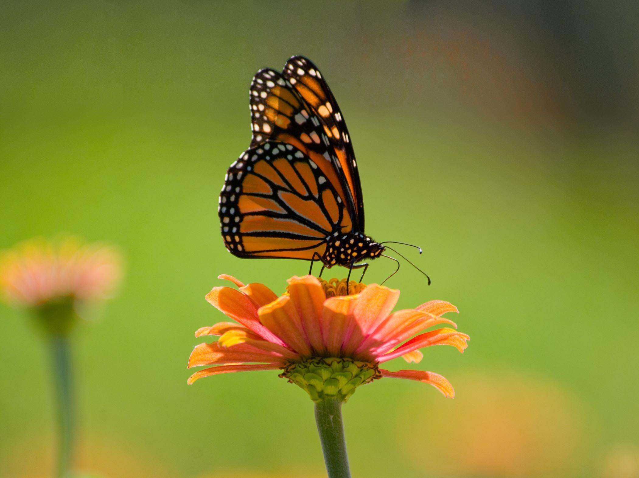 Save The Monarch Butterfly Plant Milkweed Chicago