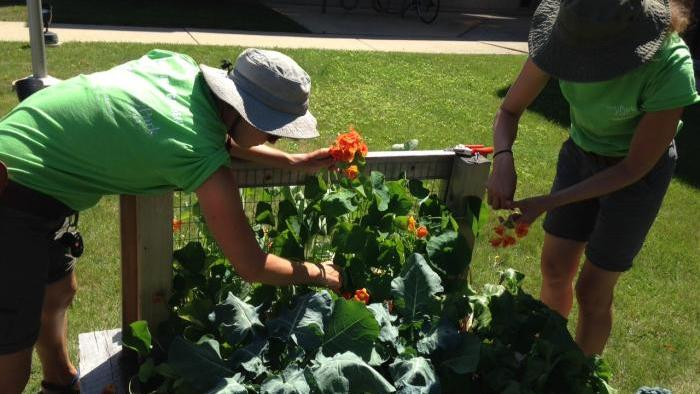 Adrienne Detanico, left, and Lona Popovic harvest nasturtiums.