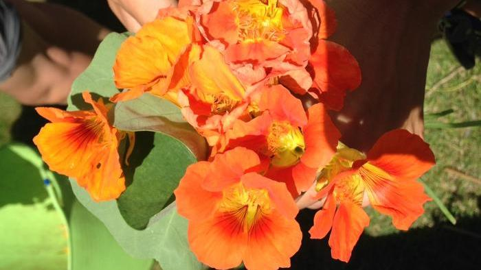 Nasturtiums, edible flowers, harvested from the WTTW garden.