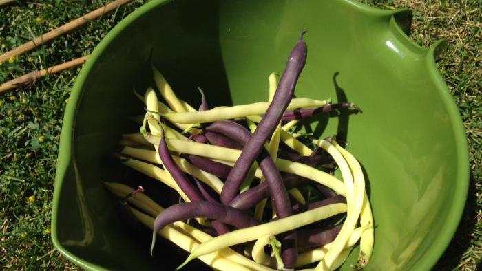 Tri-color bush beans harvested on Wednesday, July 29.