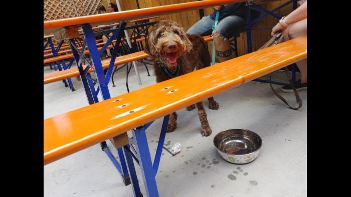 Nola, a labradoodle. (Erica Gunderson / WTTW News)