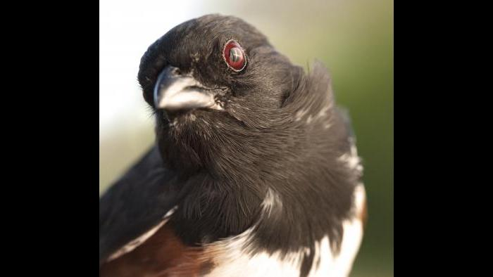 Eastern towhee (Photo by Laura Rericha)