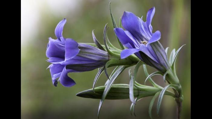 Gentiana puberulenta (Photo by Laura Rericha)