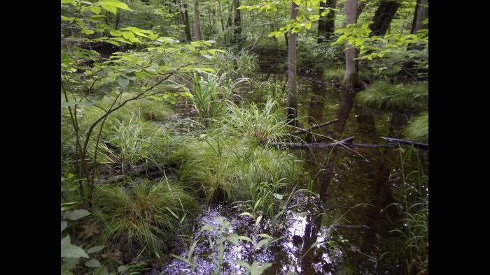 Hydromesophytic swamp forest (Photo by Laura Rericha)